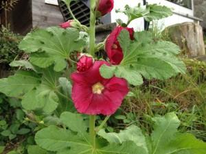 Die erste Stockrosen-Blüte in diesem Jahr