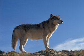 wolf-868703__180